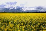 Canola_Commercial regional WA photographer